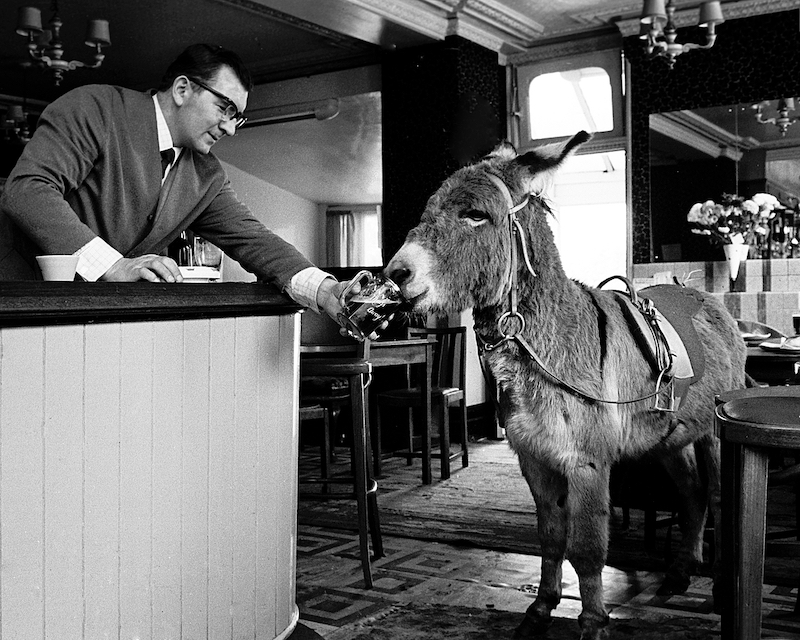 Inside a pub, a donkey is drinking a pint of beer held for it by the landlord.
